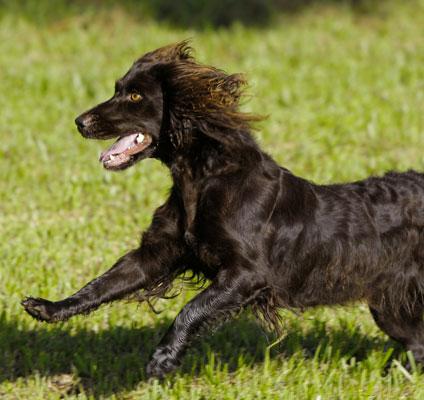 Boykin_spaniel_westminster_dog_show