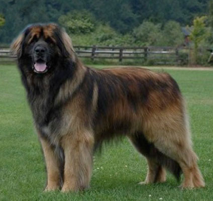 Leonberger_westminster_kennel_club