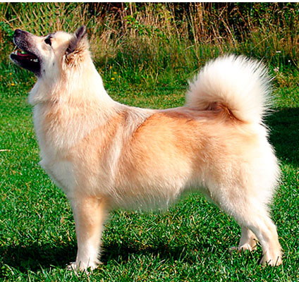 Icelandic_sheepdog_wkc_dog_show