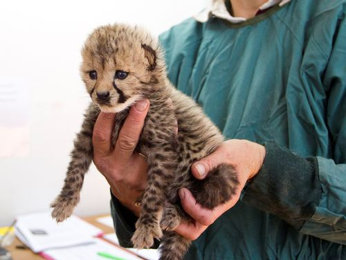 Cheetah_cub_zoo