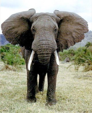 African-Elephant-endangered