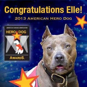 Elle-pit-bull-hero-dog