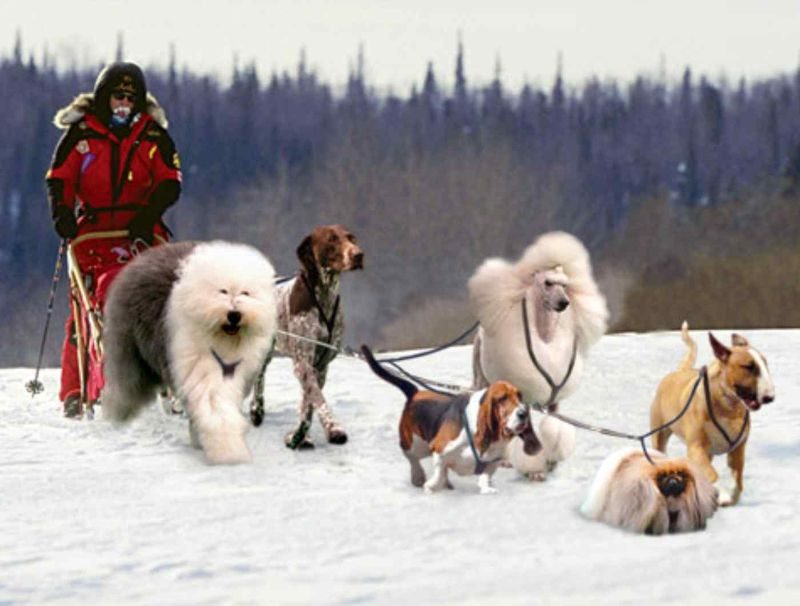 Iditarod-sled-dog-race-westminster-onion