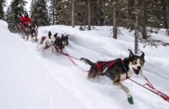 Iditarod-sled-dog-race